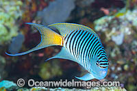 Black-spot Angelfish Genicanthus melanospilos Photo - Gary Bell