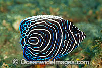 Emperor Angelfish Pomacanthus imperator photo