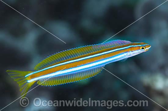 Blue-lined Sabretooth Blenny (Plagiotremus rhinorynchos). Also known as Tube-worm Blenny. Found throughout the Indo-West Pacific, including the Great Barrier Reef, Australia.