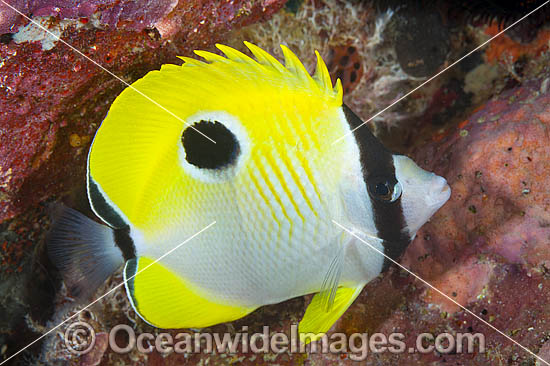 Teardrop Butterflyfish (Chaetodon unimaculatus). Found throughout the central Pacific, including the Great Barrier Reef, Australia, usually on reef flats and deep outer reef slopes.