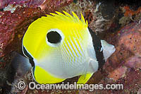 Teardrop Butterflyfish Photo - Gary Bell