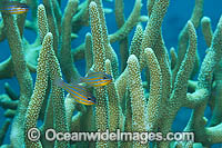 Blue-lined Cardinalfish Photo - Gary Bell