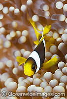 Clark's Anemonefish in anemone Photo - Gary Bell