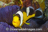 Panda Clownfish Amphiprion polymnus photo