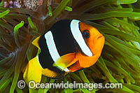 Clark's Anemonefish Amphiprion clarkii photo