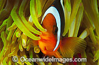 Clark's Anemonefish photo