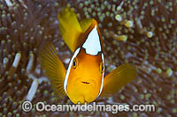 White-bonnet Anemonefish Amphiprion leucokranos Photo - Gary Bell
