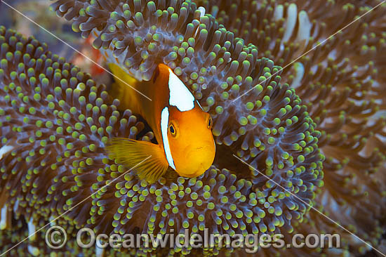 White-bonnet Anemonefish (Amphiprion leucokranos), in a sea anemone. Found in association with sea anemones from northern Papua New Guinea to the Solomon Islands. Photo was taken at Milne Bay, Papua New Guinea. Within the Coral Triangle. Photo - Gary Bell