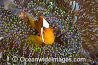 White-bonnet Anemonefish Amphiprion leucokranos photo