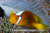 White-bonnet Anemonefish in anemone photo