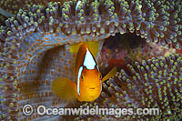 White-bonnet Anemonefish photo