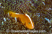 Orange Anemonefish Amphiprion sandaracinos Photo - Gary Bell