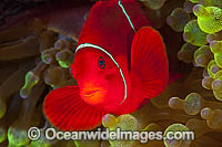 Spine-cheek Anemonefish in anemone photo