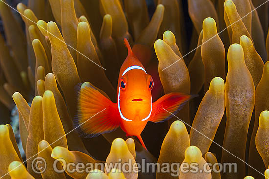 Spine-cheek Anemonefish (Premnas biaculeatus), juvenile. Found in association with sea anemones throughout the Indo-Pacific, including northern Great Barrier Reef, Australia. Photo taken in Papua New Guinea. Within the Coral Triangle. Photo - Gary Bell