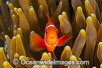 Spine-cheek Anemonefish juvenile Photo - Gary Bell