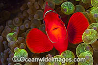 Spine-cheek Anemonefish in anemone Photo - Gary Bell