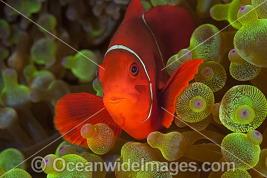 Spine-cheek Anemonefish (Premnas biaculeatus). Found in association with sea anemones throughout the Indo-Pacific, including northern Great Barrier Reef, Australia. Photo taken in Papua New Guinea. Within the Coral Triangle. Photo - Gary Bell