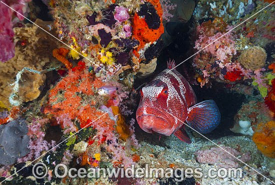 Footballer Trout and coral photo