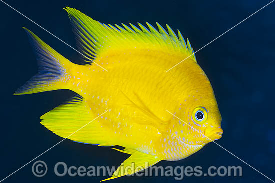 Golden Damsel (Amblyglyphidodon aureus). Also known as Lemon Damsel, Yellow Damselfish and Golden Sergeant. Found throughout the West Pacific, including the Great Barrier Reef, Australia.
