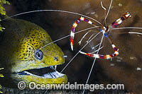 Shrimp cleaning Moray Eel photo