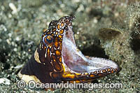 Clown Snake Eel Ophichthus bonaparti Photo - Gary Bell