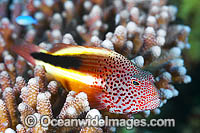 Freckled Hawkfish in coral