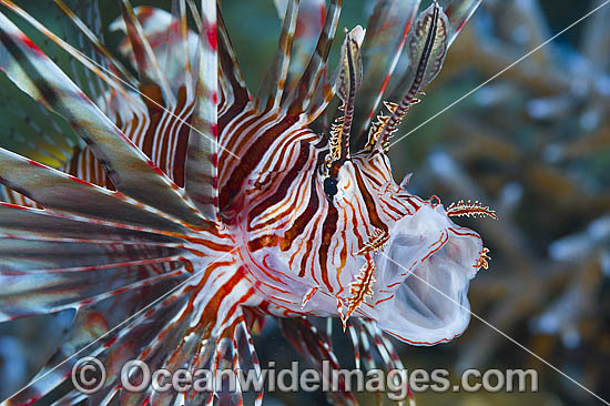 Common Lionfish (Pterois volitans). Also known as Firefish. Found on tropical reefs throughout the Indo-Pacific, including the Great Barrier Reef, Australia.