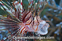 Common Lionfish yawning