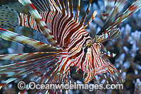 Common Lionfish Photo - Gary Bell