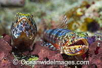 Variegated Lizardfish Photo - Gary Bell
