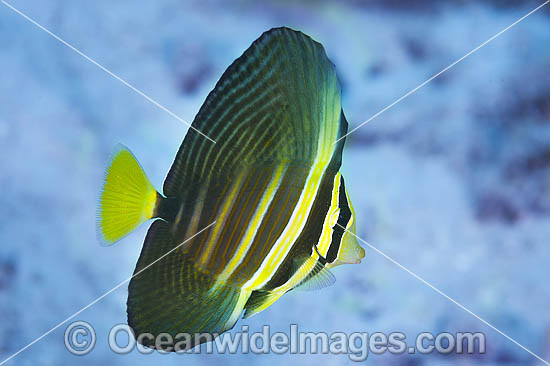 Sailfin Tang (Zebrasoma veliferum). Also known as Pacific Sail-fin Surgeonfish. Found throughout the Indo-West Pacific, including the Great Barrier Reef, Australia.