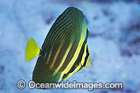 Sailfin Tang Zebrasoma veliferum Photo - Gary Bell