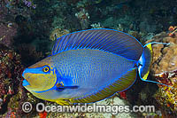Big-nose Unicornfish Photo - Gary Bell