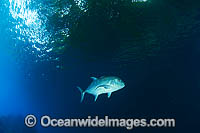 Giant Trevally Caranx ignobilis Photo - Gary Bell
