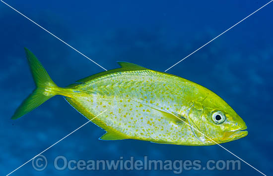 Gold-spotted Trevally (Caranx bajad). Found throughout the Indo-West Pacific usually seen along coastal reef slopes or around coral heads in lagoons. Photo taken in Papua New Guinea. Within the Coral Triangle. Photo - Gary Bell