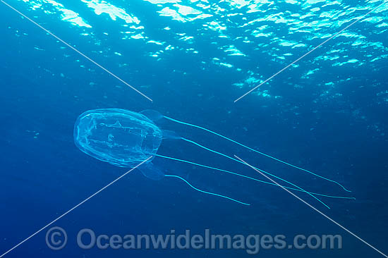 Irukandji Jellyfish Alatina mordens photo