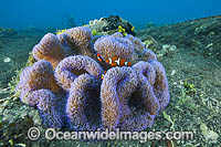 Clownfish in Sea Anemone Photo - Gary Bell