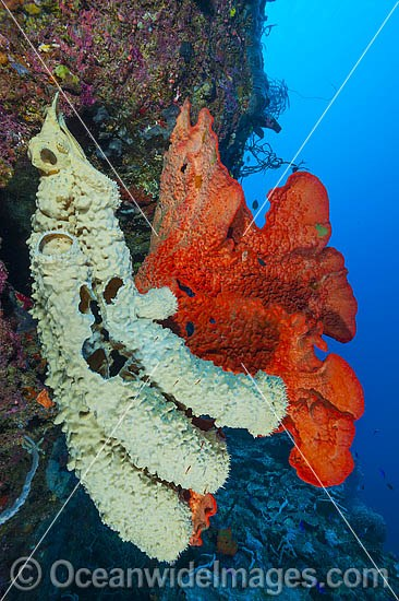 Vase Sponge (Amphimedon sp.) (cream color) and Sea Sponge (possibly: Phakellia sp.( (orange color), on a drop-off over-hang. Photo taken at Milne Bay, Papua New Guinea. Within the Coral Triangle.