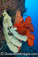 Vase Sponge and Sea Sponge photo
