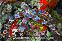 Sea Star Gomophia sp. Photo - Gary Bell