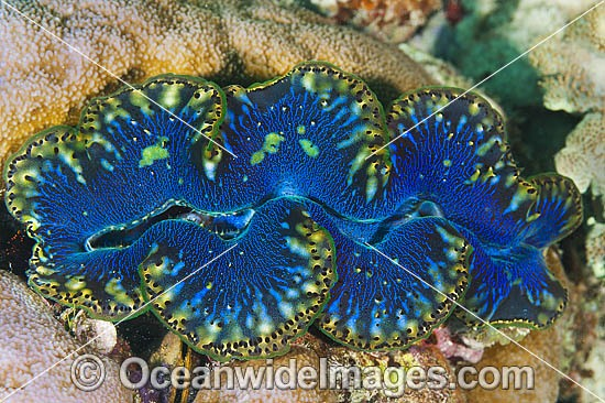 Giant Clam (Tridacna sp.). Found throughout the Indo-West Pacific, including the Great Barrier Reef, Australia