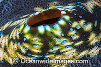 Giant Clam siphon Photo - Gary Bell
