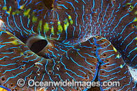 Giant Clam mantle Photo - Gary Bell