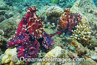 Reef Octopus mating pair Photo - Gary Bell