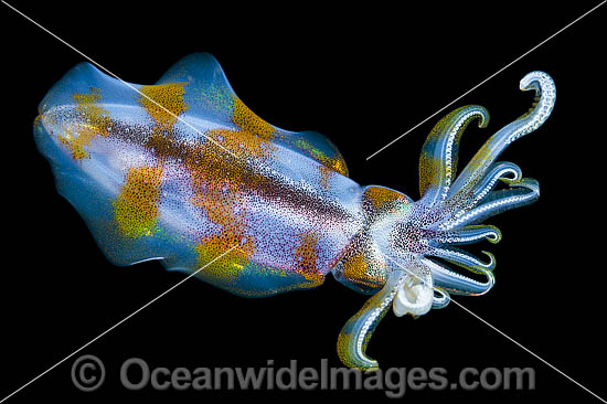 Bigfin Reef Squid (Sepioteuthis lessoniana), swimming mid-water at night. Found throughout the Indo-Pacific, from Hawaii to the Red Sea. Photo was taken off at Milne Bay, Papua New Guinea. Within the Coral Triangle. Photo - Gary Bell