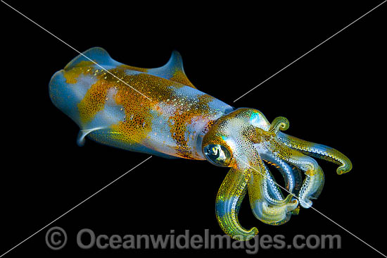 Bigfin Reef Squid (Sepioteuthis lessoniana), swimming mid-water at night. Found throughout the Indo-Pacific, from Hawaii to the Red Sea. Photo was taken off at Milne Bay, Papua New Guinea. Within the Coral Triangle.