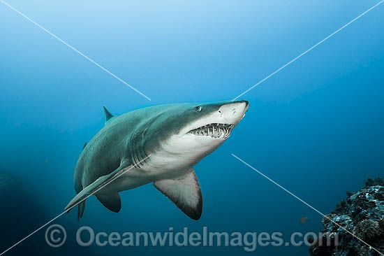 Grey Nurse Shark (Carcharias taurus). Known as Grey Nurse Shark in Australia, Sand Tiger Shark in USA and Ragged-tooth Shark in South Africa. Solitary Islands, NSW, Australia. Vulnerable on IUCN Red List of Threatened Species. Protected in Australia Photo - Gary Bell