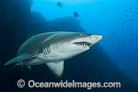 Ragged-tooth Shark Photo - Gary Bell