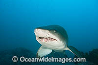 Grey Nurse or Sand Tiger Shark Photo - Gary Bell