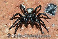 White-backed Mouse Spider photo